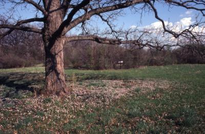 Quercus macrocarpa (bur oak), trunk and bare branches