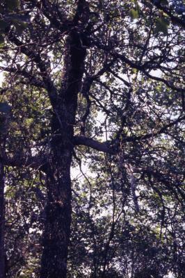 Quercus marilandica (blackjack oak), trunk and branches