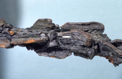 Quercus macrocarpa (bur oak), bark detail