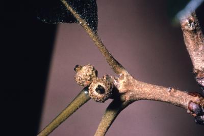 Quercus macrocarpa (bur oak), new acorns detail