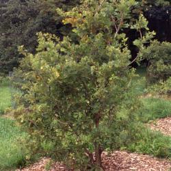 Quercus imbricaria (shingle oak), habit, winter