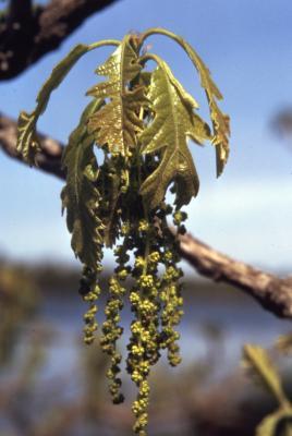 Quercus macrocarpa (bur oak), catkins and leaves detail