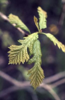 Quercus macrocarpa (bur oak), young leaves