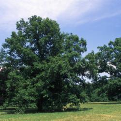 Quercus alba (white oak), habit, early fall