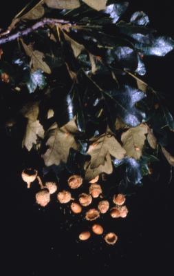 Quercus macrocarpa (bur oak), leaves and acorns