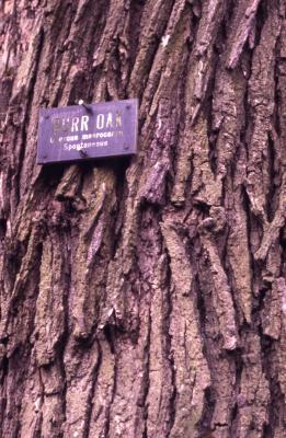 Quercus macrocarpa (bur oak), bark