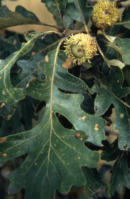 Quercus macrocarpa (bur oak), acorns and leaves
