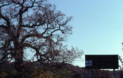 Quercus macrocarpa (bur oak), section of crown