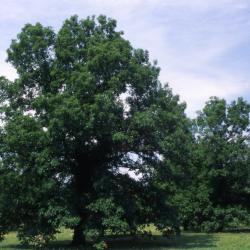 Quercus alba (white oak), crown