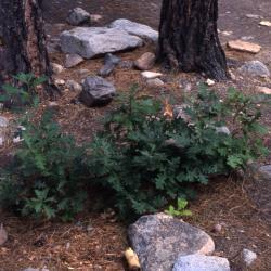 Quercus crassifolia (Thick-leaved Oak), leaf, winter