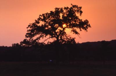 Quercus macrocarpa (bur oak), crown against sunset sky