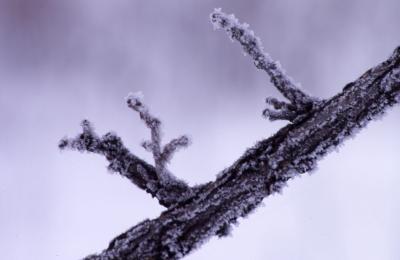 Quercus macrocarpa (bur oak), snow-covered twig detail