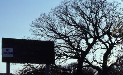 Quercus macrocarpa (bur oak), bare crown