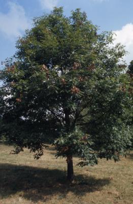 Quercus muehlenbergii (chinkapin oak), habit, summer