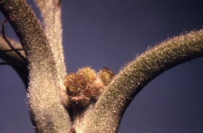 Quercus macrocarpa (bur oak), female flowers detail