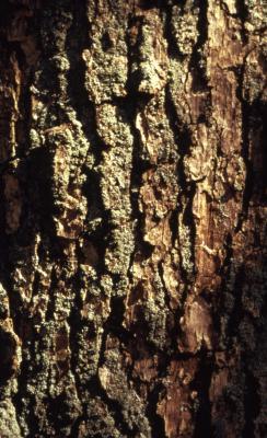 Quercus muehlenbergii (chinkapin oak), bark