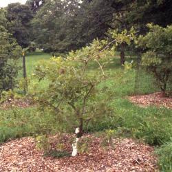 Quercus imbricaria (shingle oak), hedgerow