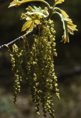 Quercus macrocarpa (bur oak), catkins and young leaves
