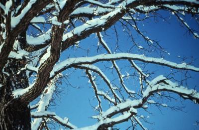 Quercus macrocarpa (bur oak), snowy trunk and branches