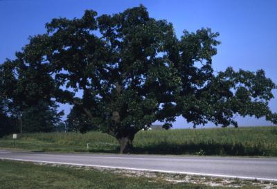 Quercus macrocarpa (bur oak) , habit, summer