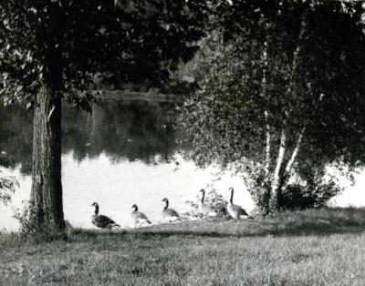Five Canada geese aside Lake Marmo [?]