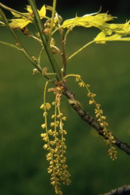 Quercus palustris (pin oak), flowers and young leaves