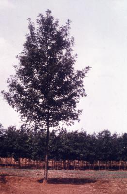 Quercus palustris 'Sovereign' (Sovereign pin oak), habit