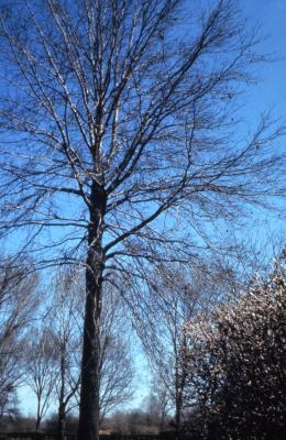 Quercus palustris (pin oak), mostly bare tree