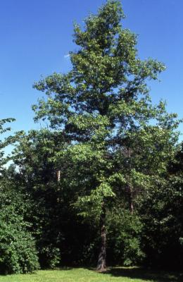 Quercus palustris (pin oak), mature tree
