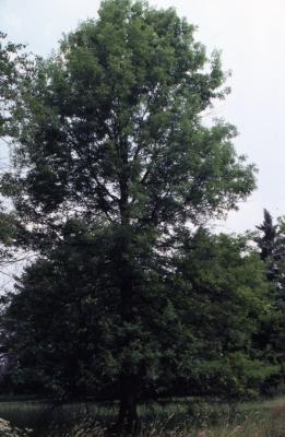 Quercus palustris (pin oak), habit