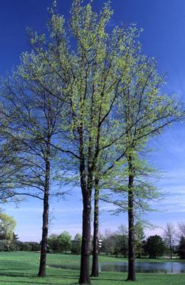Quercus palustris (pin oak), habit, spring