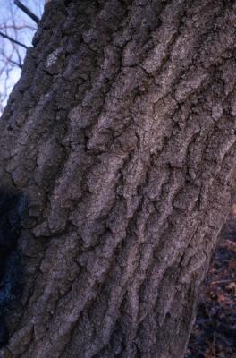 Quercus palustris (pin oak), trunk bark detail