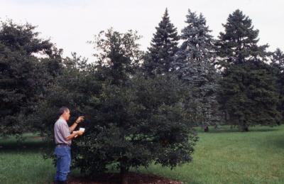 Quercus oglethorpensis (Oglethorpe's oak), habit, summer