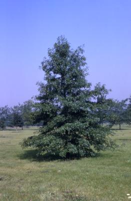 Quercus palustris (pin oak), habit, summer