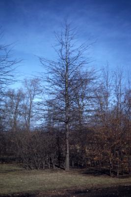 Quercus palustris (pin oak), bare tree