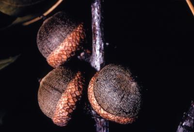 Quercus palustris (pin oak), mature acorns