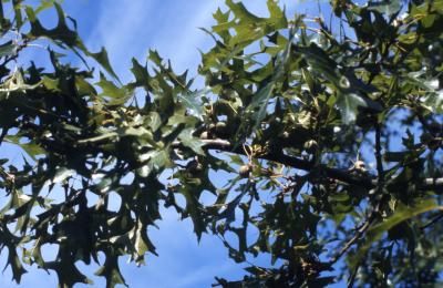 Quercus palustris (pin oak), leaves and acorns