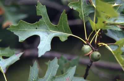 Quercus palustris (pin oak), acorns and leaves