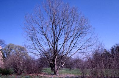 Quercus muehlenbergii (chinkapin oak), habit, early spring