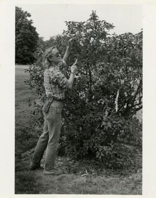 Sandy DeFrank getting ready to prune a shrub
