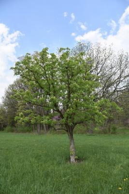 Aesculus arguta (Texas Buckeye), habit, spring