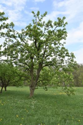 Aesculus ×ambigua (Buckeye), habit, spring