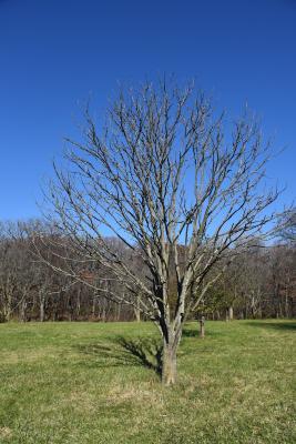 Aesculus ×arnoldiana (Arnold Buckeye), habit, winter