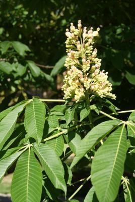 Aesculus flava (Yellow Buckeye), inflorescence