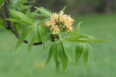 Aesculus glabra var. arguta (Texas Buckeye), flower, full