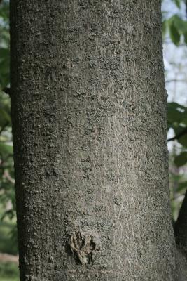 Aesculus flava (Yellow Buckeye), bark, trunk