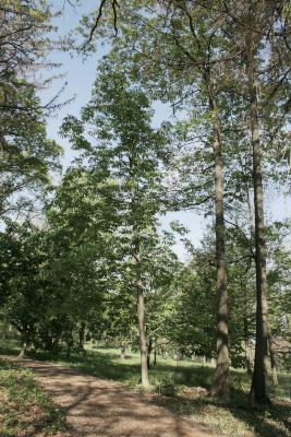 Aesculus flava (Yellow Buckeye), habit, spring