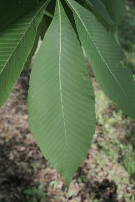 Aesculus flava (Yellow Buckeye), leaf, upper surface