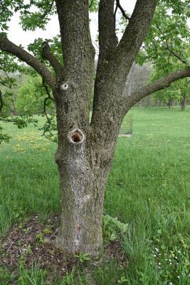 Aesculus ×ambigua (Buckeye), bark, trunk