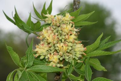 Aesculus glabra var. arguta (Texas Buckeye), flower, throat